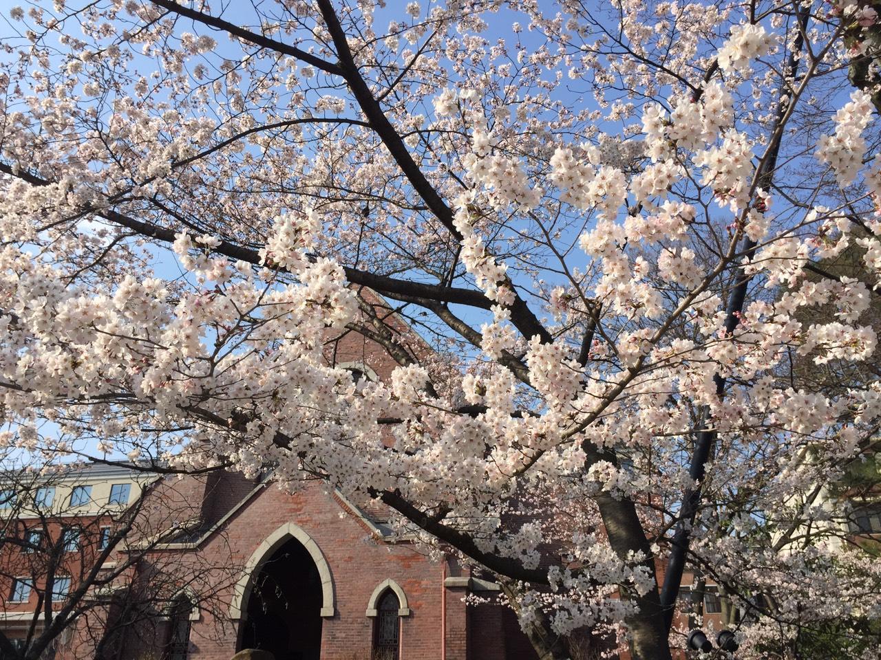 同志社の桜