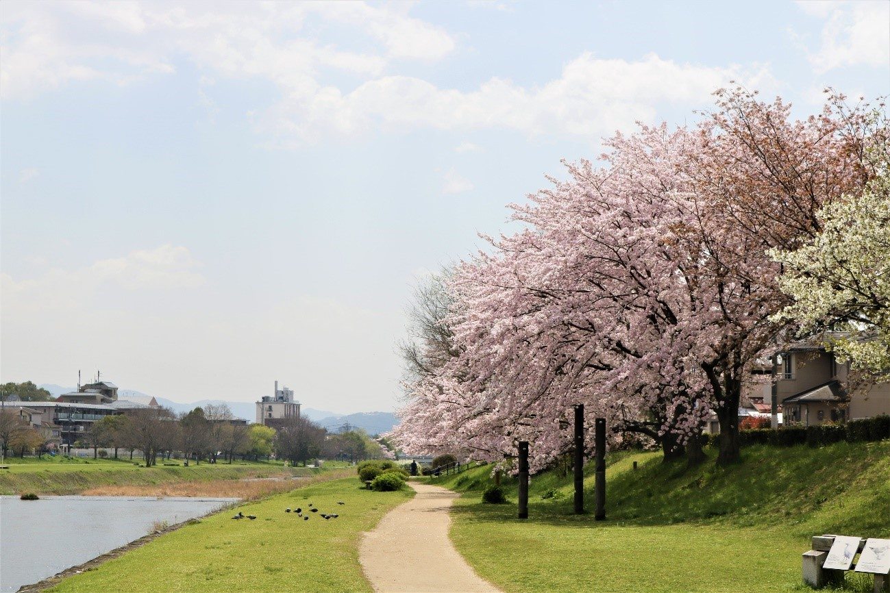 京都で花見!学生が撮った桜の穴場スポット