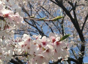 筆者が撮った桜