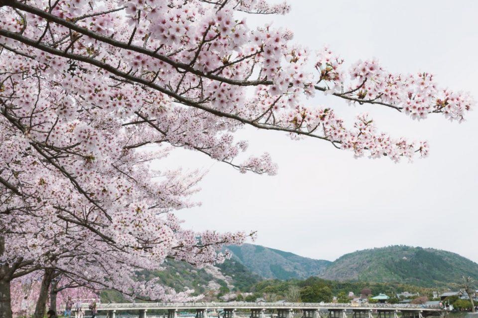 京都嵐山の桜の写真