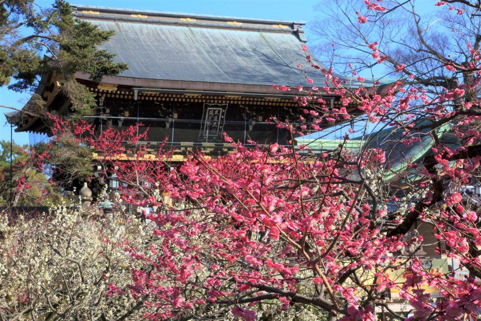 梅花咲き誇る北野天満宮